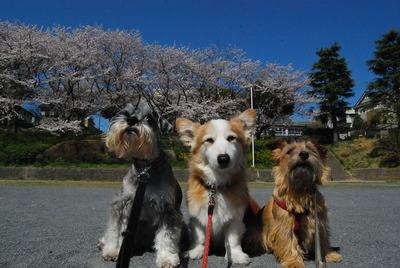 桜吹雪 095