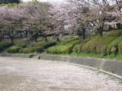 アチュ散り桜 017