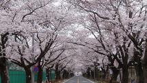 夜の森の桜並木のトンネル(富岡町のサイトより)
