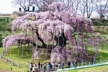 滝桜(三春町観光協会のサイトより)