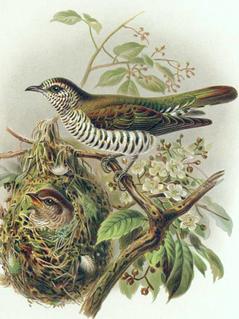 Pipiwharauroa