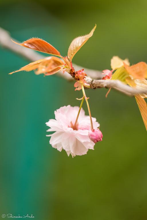 長津川遊水池の八重桜20170422-2