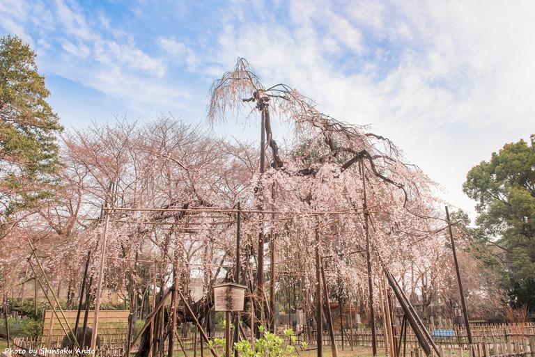 市川真間・弘法寺のしだれ桜‐8-name