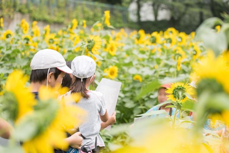 金杉小学校のひまわり畑2016-9