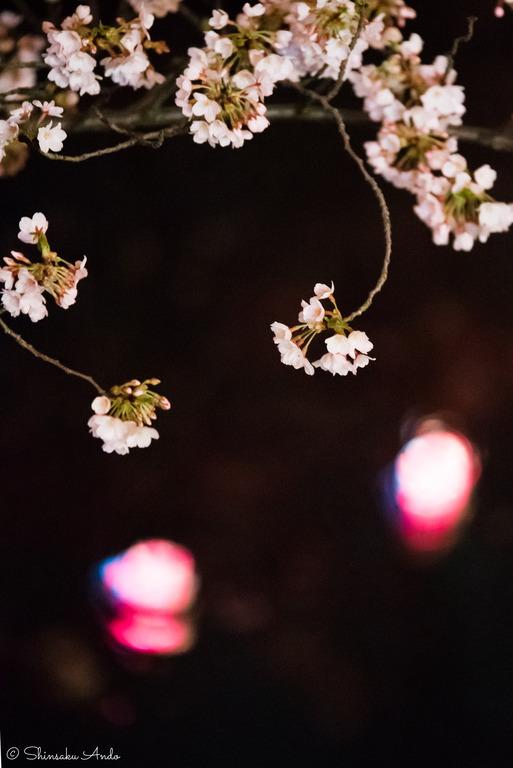 海老川の夜桜でお花見2017-6