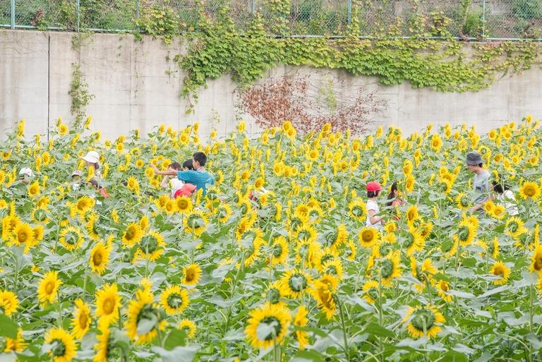 金杉小学校のひまわり畑2016-6
