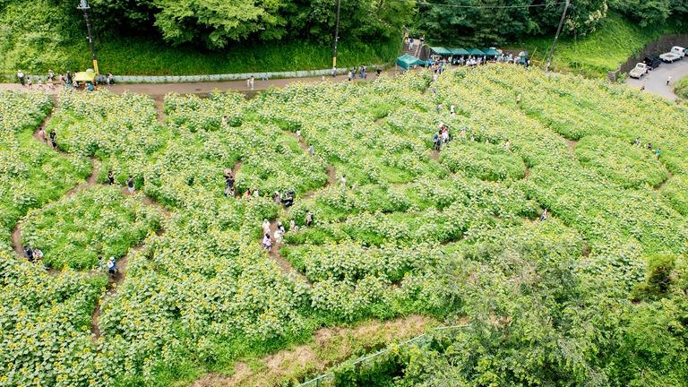 金杉小学校のひまわり畑2016-10(くまモンのひまわり迷路)