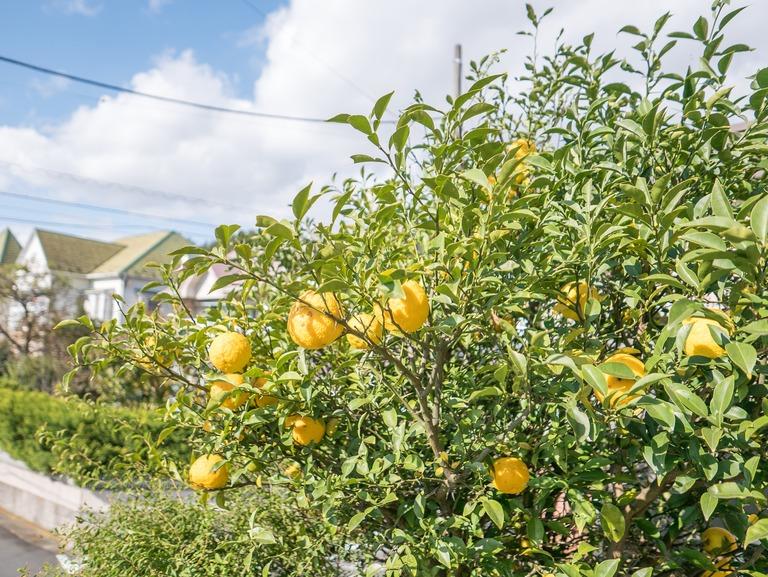 実家の柚子の木