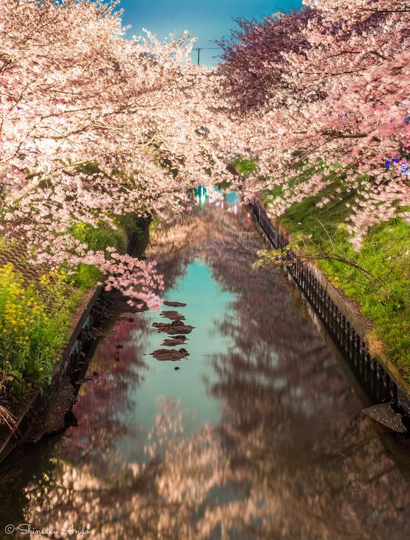 海老川の夜桜でお花見2017-4
