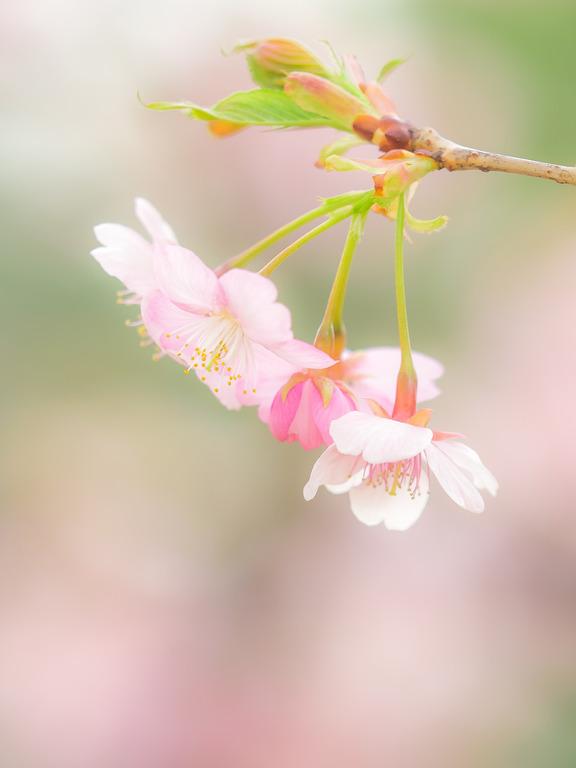 長津川遊水池の河津桜20160305-4