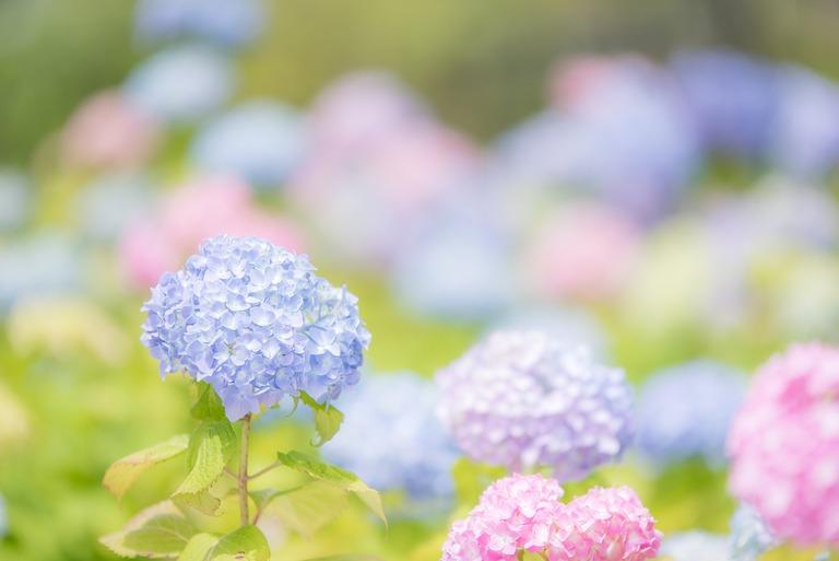 あじさいの花20160528
