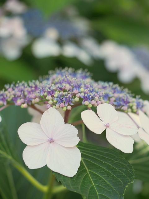 近所の紫陽花⑤
