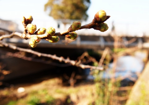 海老川の桜の蕾3月16日