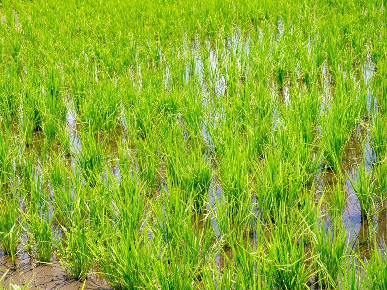 山田農場の一年・六月(近所の田んぼ)