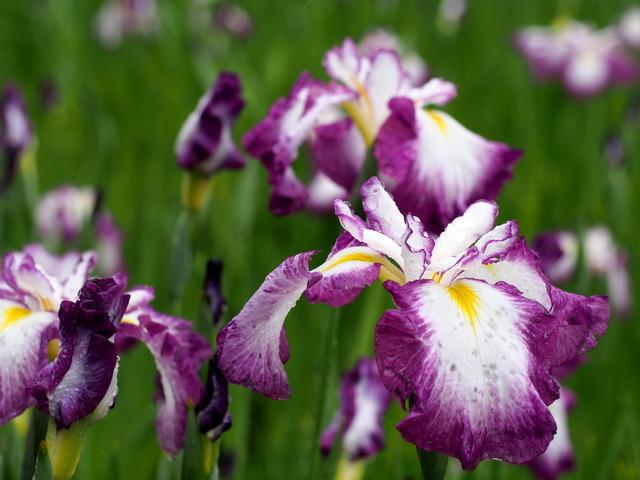 菖蒲の花(紫)