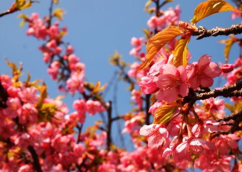 海老川の彼岸桜