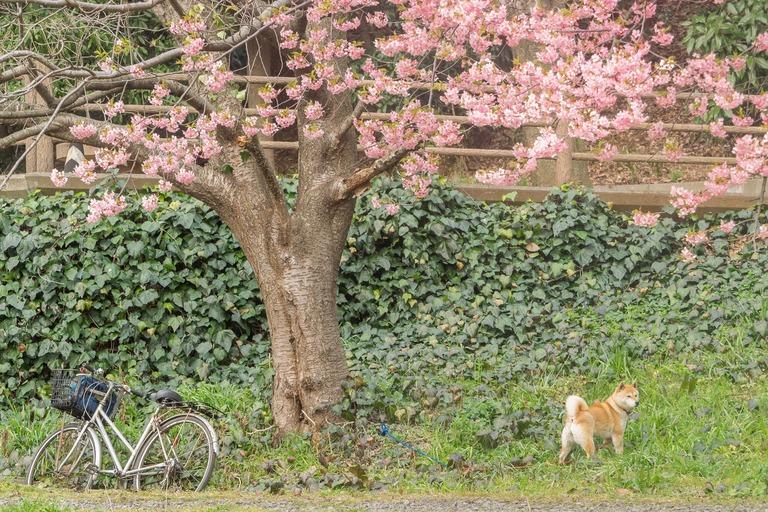 柴犬と河津桜
