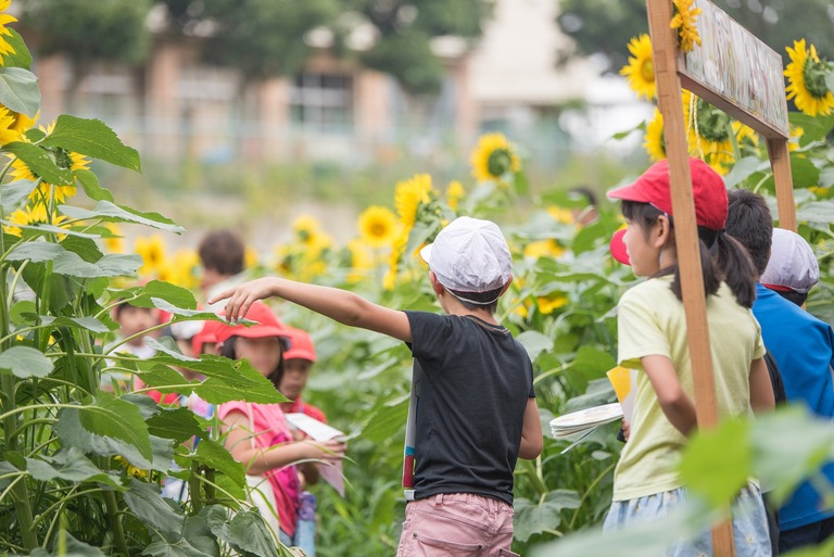 金杉小学校のひまわり畑2016-7