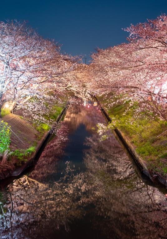 海老川の夜桜2019_1_small