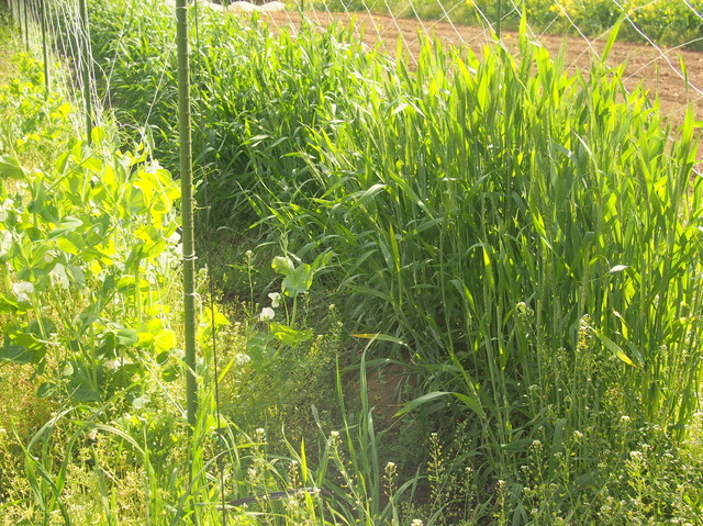 麦を植えて害虫ブロック
