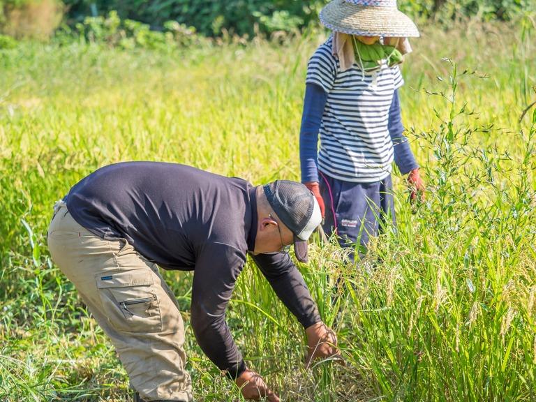 山田農場の一年:9月 稲刈り‐6