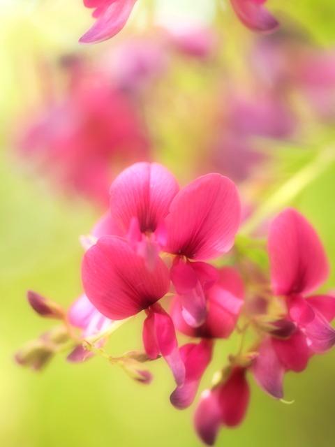 萩の花20140927-1