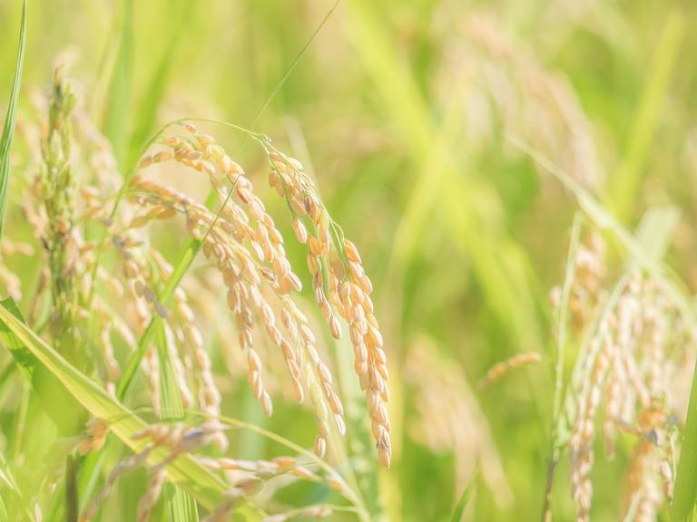 山田農場の一年:9月 稲刈り‐12