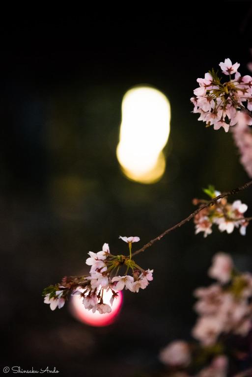 海老川の夜桜でお花見2017-7