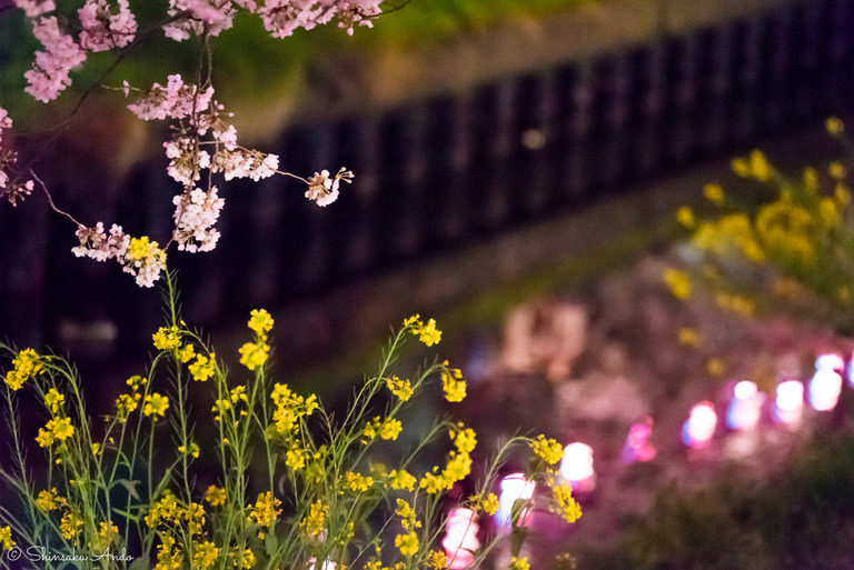 海老川の夜桜でお花見2017-5