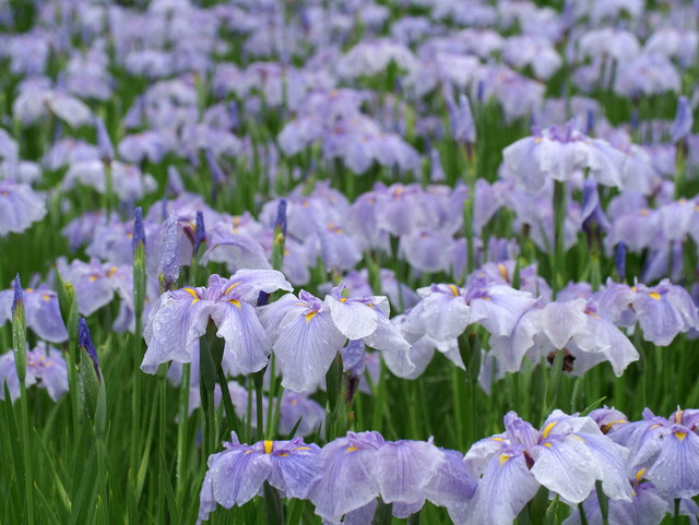 菖蒲の花(水色)