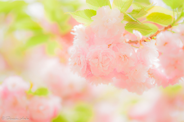 長津川遊水池の八重桜20170422