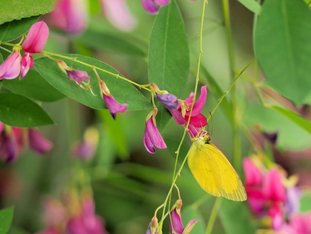 萩の花20140927-3