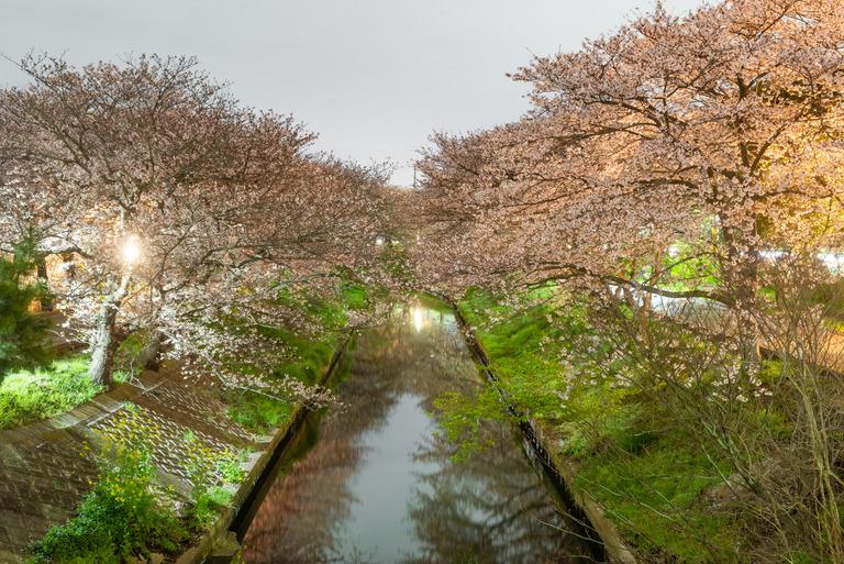 海老川の夜桜2020