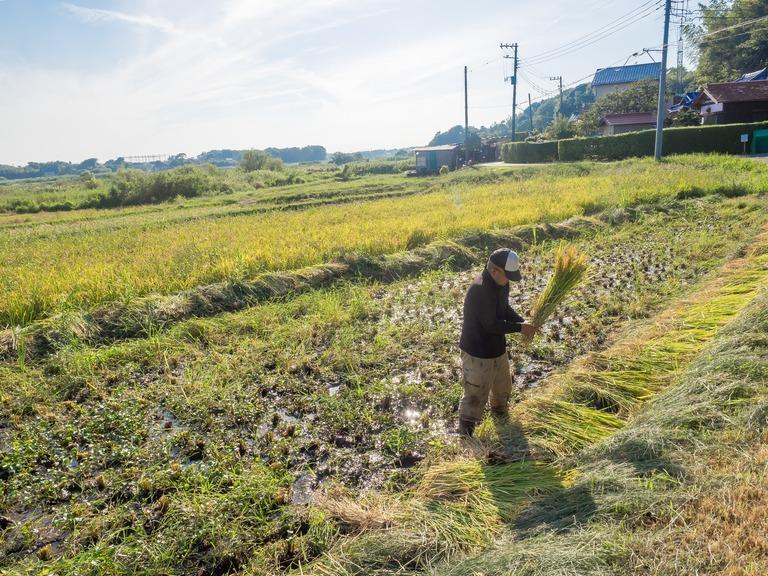 山田農場の一年:9月 稲刈り‐10