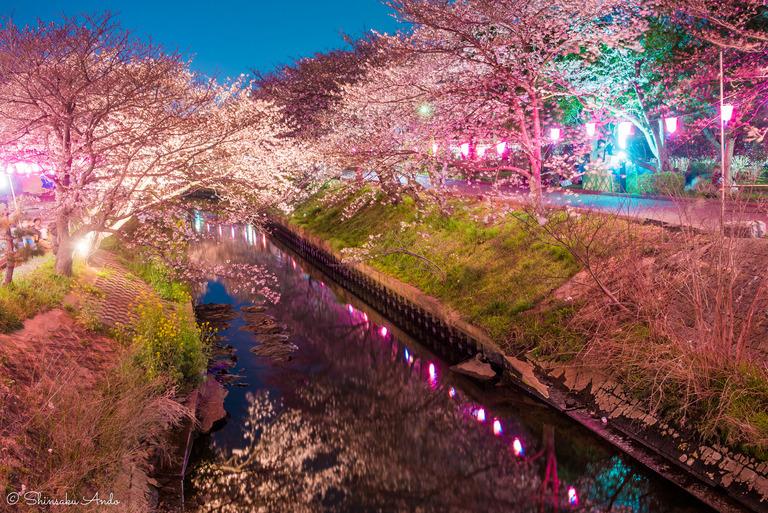 海老川の夜桜でお花見2017-2