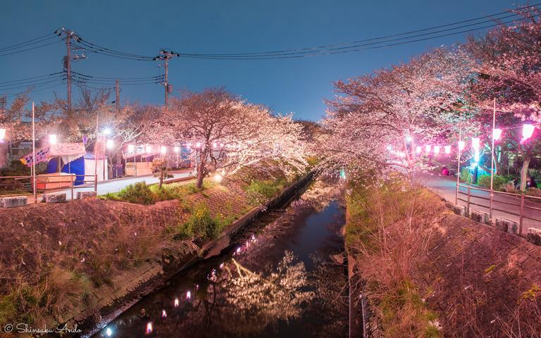 海老川の夜桜でお花見2017-1