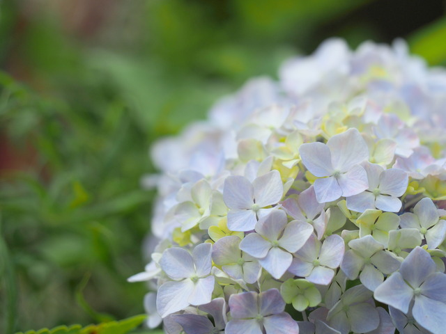 近所の紫陽花⑤ (2)
