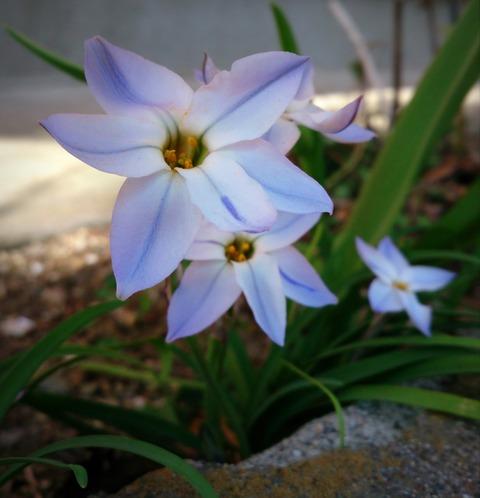 青い花-001