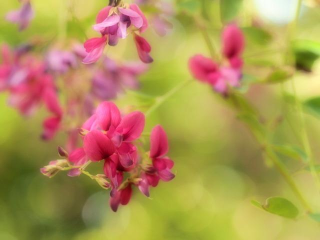 萩の花20140927-2