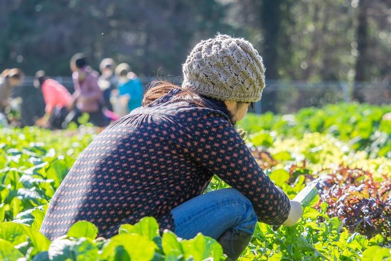 山田農場|冬野菜の収穫-6