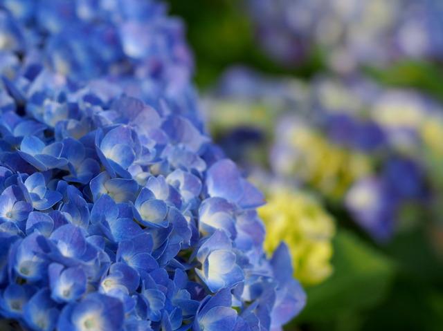 事務所の紫陽花