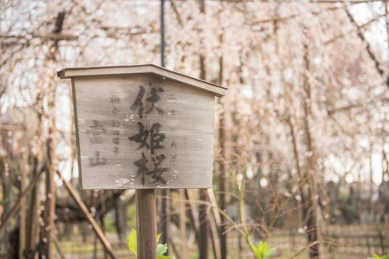 伏姫桜の看板