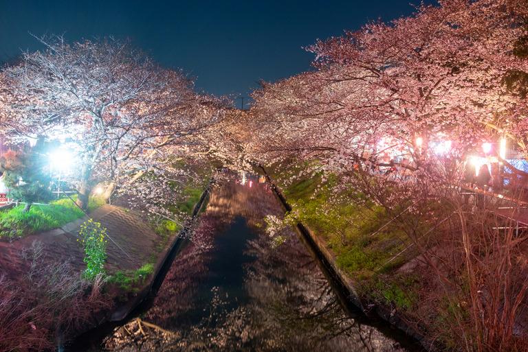 海老川の夜桜2019_2_small