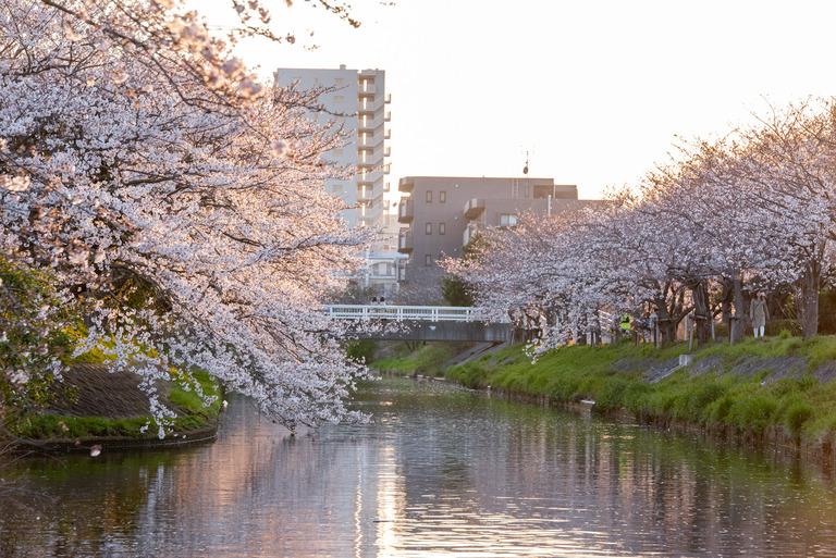 海老川 _夕暮れの桜