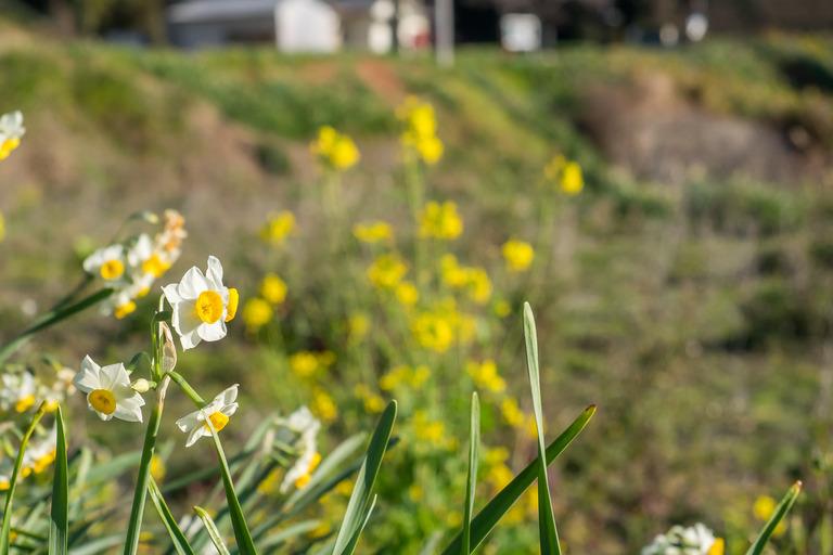 をくずれ水仙郷201601019-14(菜の花とスイセン)