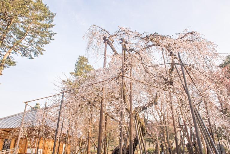 市川真間・弘法寺のしだれ桜‐1
