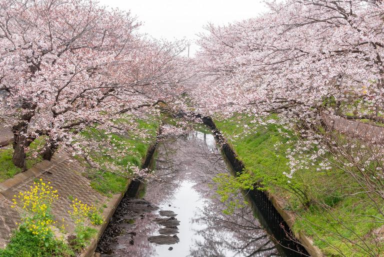 海老川の桜2020