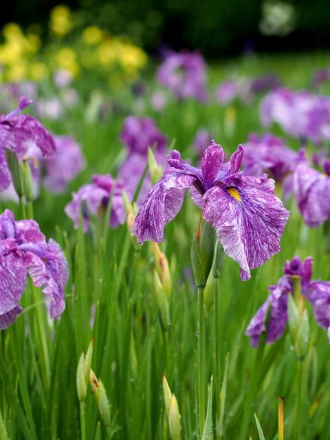 菖蒲の花(藤色)