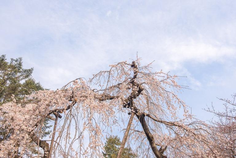 市川真間・弘法寺のしだれ桜‐4