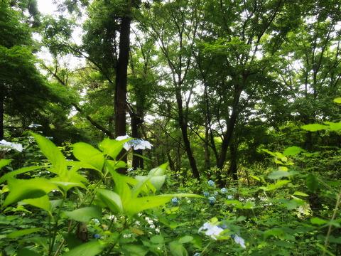 森とアジサイ